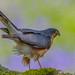 Sparrow Hawk in Blue bells by desassessor