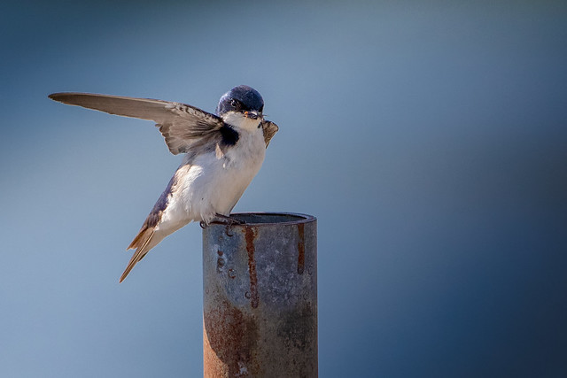 Tree Swallow (with Prey)