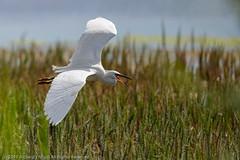 HolderLittle Egret (Egretta garzetta) calling