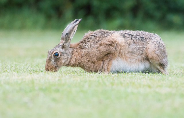 Brown Hare - late night garden visitor -
