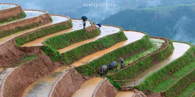 Lao Chai, Mu Cang Chai, terrace padies
