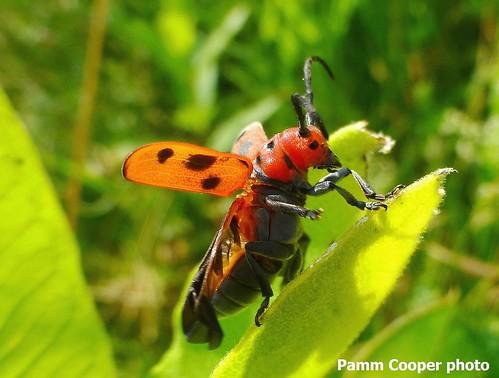 milkweed beetle taking off copyright Pamm Cooper
