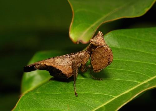 Boxer Mantis, female (Hestiasula sp. Hymenopodidae)