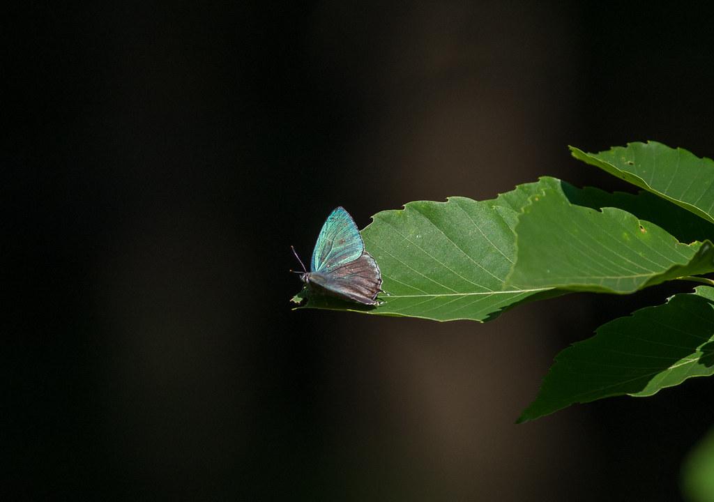 Favonius orientalis