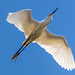 Small photo of Snowy Egret in Flight Over Almaden Lake Park