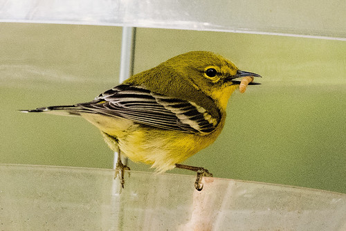 Skidaway Island: Pine Warbler Gobbling It Up
