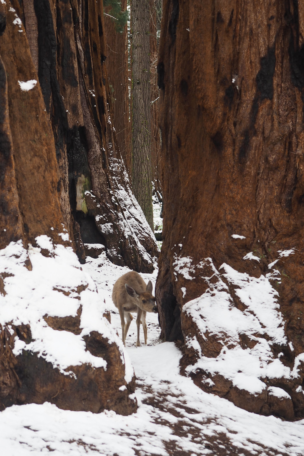 Sequoia Deer