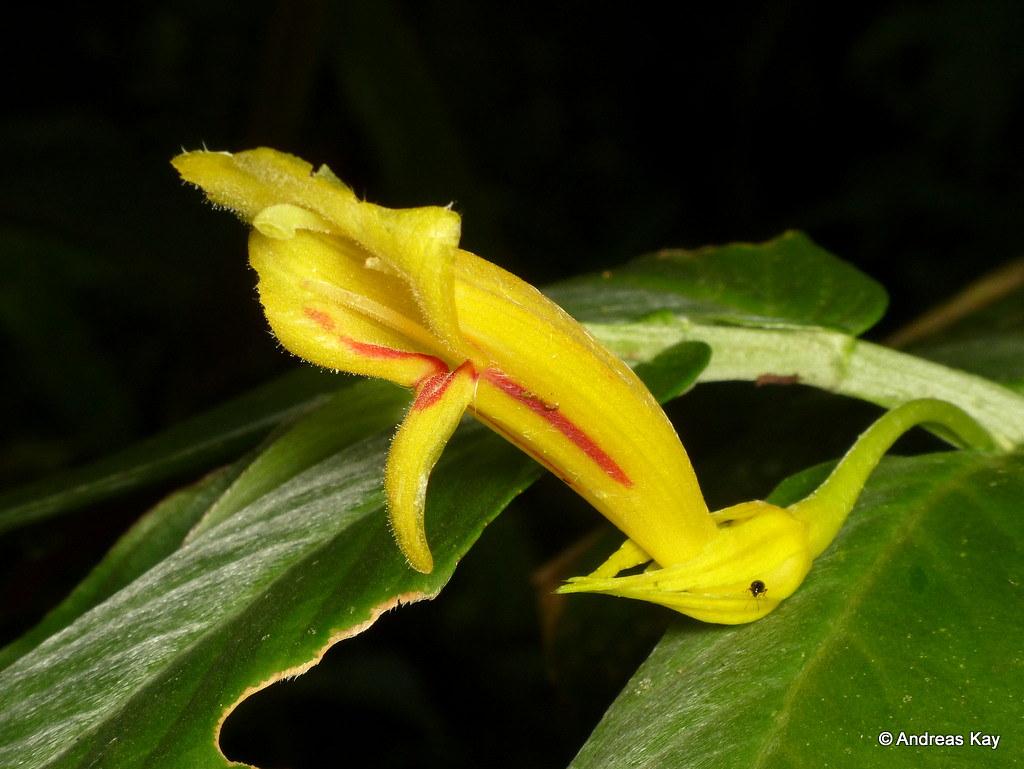 Columnea sp., Gesneriaceae