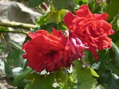 Rue du Trop Chaud, Flavigny-sur-Ozerain - red flowers