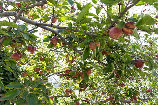 Kotgarh apple orchard