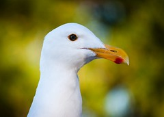Portrait of a Pacific Seagll, Point Lobos State Park,  Carmel CA (4)