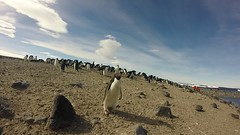 GOPR0076 Adelie Penguins