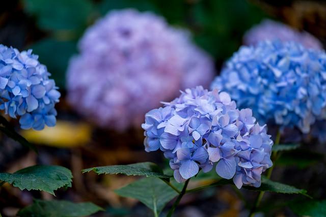 Purple Hydrangea, Oakland, California