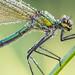 Calopteryx splendens by Prajzner