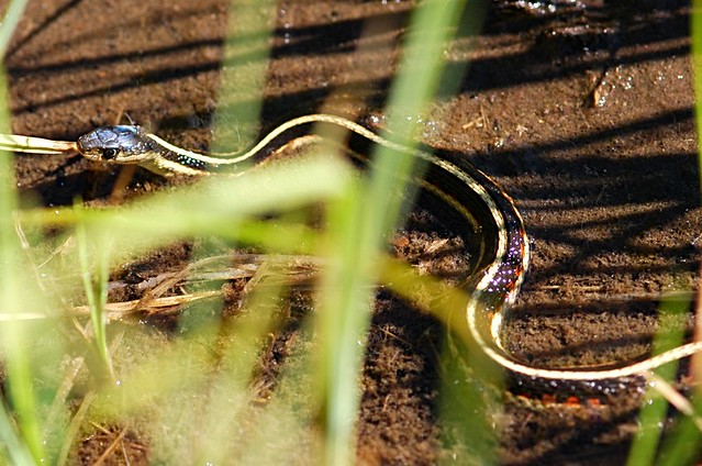 Thamnophis sirtalis fitchi (Valley Garter Snake)
