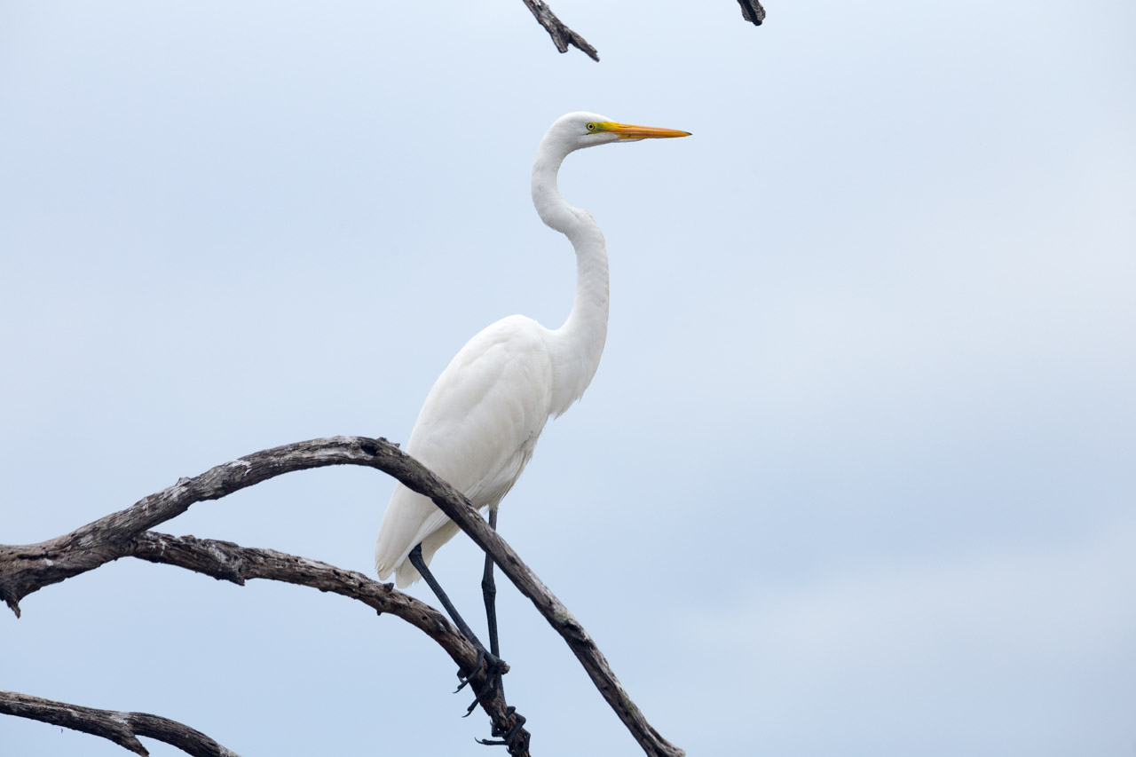 La garceta grande o garza blanca (Ardea alba) es un ave acuática de plumaje blanco, grande y esbelta, que puede alcanzar el metro de altura, se alimenta en aguas poco profundas principalmente de peces, ranas, pequeños mamíferos, y ocasionalmente aves pequeñas y reptiles. (Tetsu Espósito)