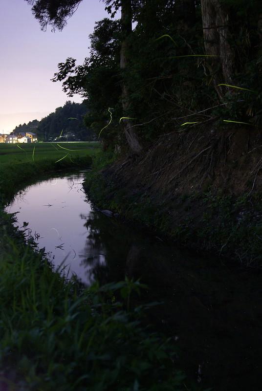 小川を飛ぶホタル_201207