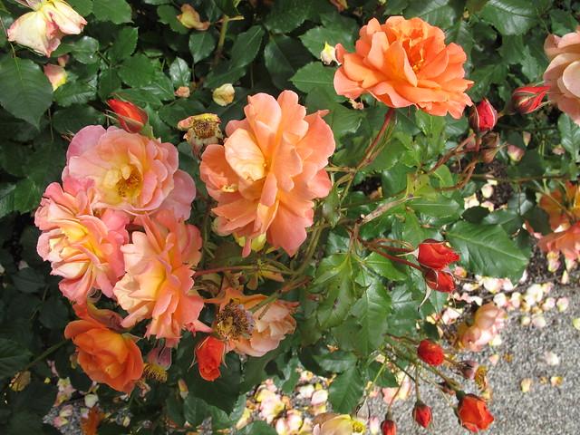 sunday, the rose garden, fredriksdals trädgårdar, helsingborg