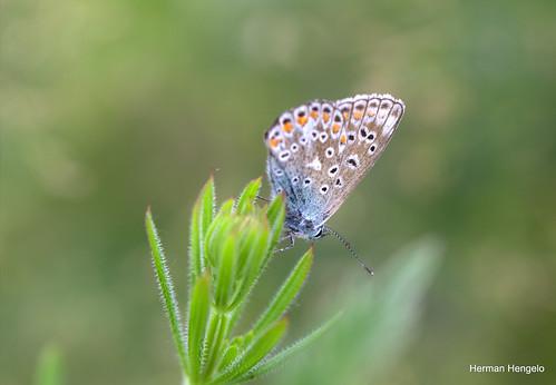 Icarusblauwtje, mannetje