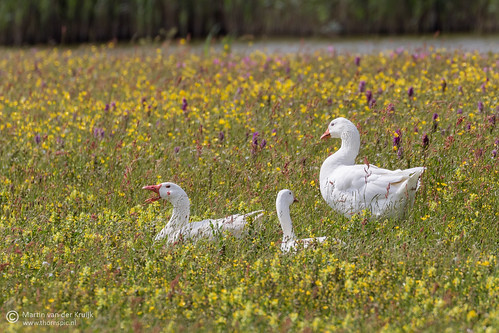 Witte ganzen (White geese)