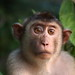 Pig-tailed Macaque (Andy Hawkins)
