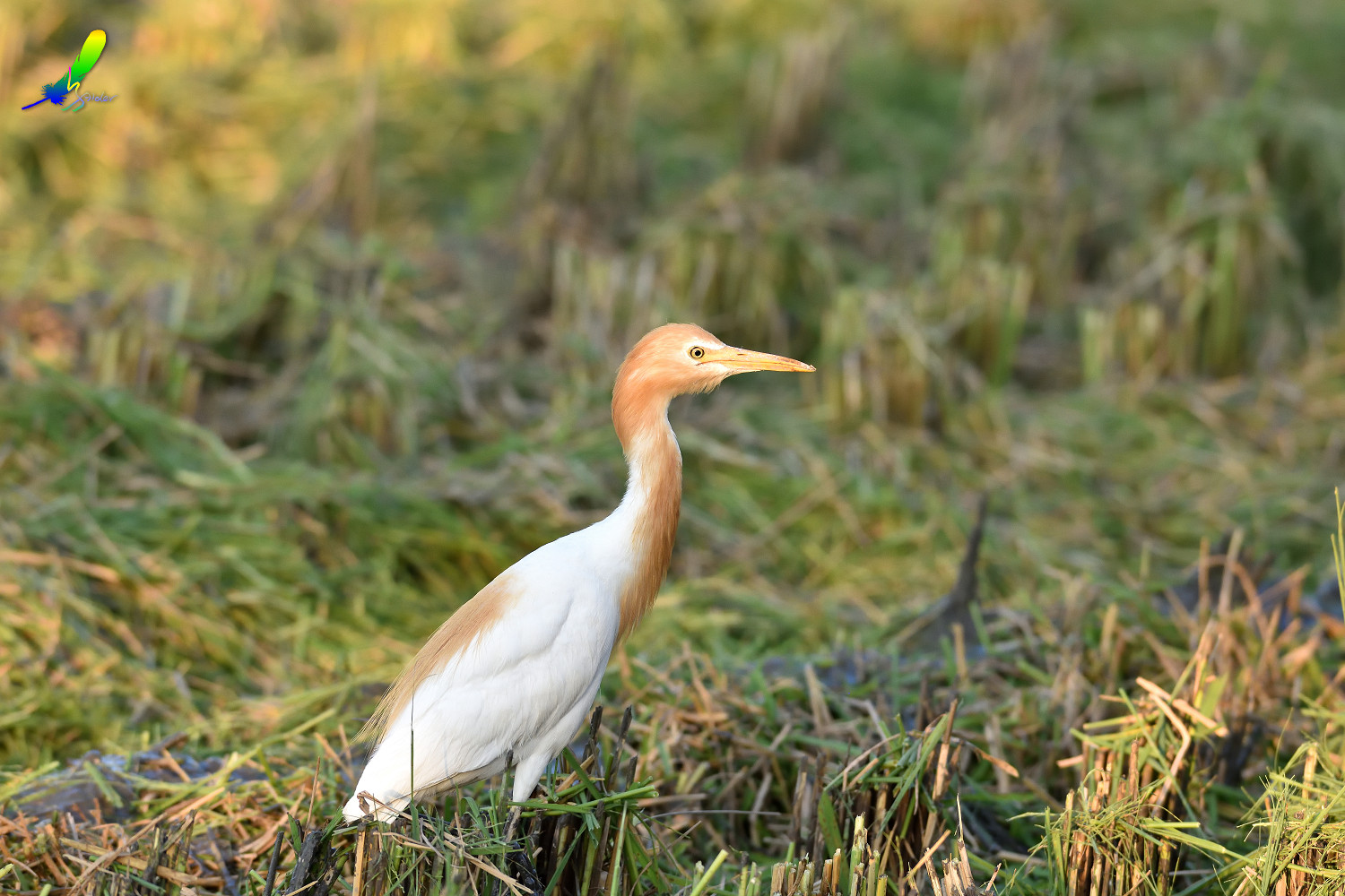 Cattle_Egret_0387