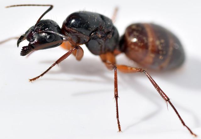 14 mm queen American carpenter ant