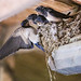Swallow's nesting in Matt's Stable