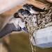 Swallow's nesting in Matt's Stable