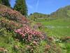 Proxenalm-Hochleger mit Alpenrosen