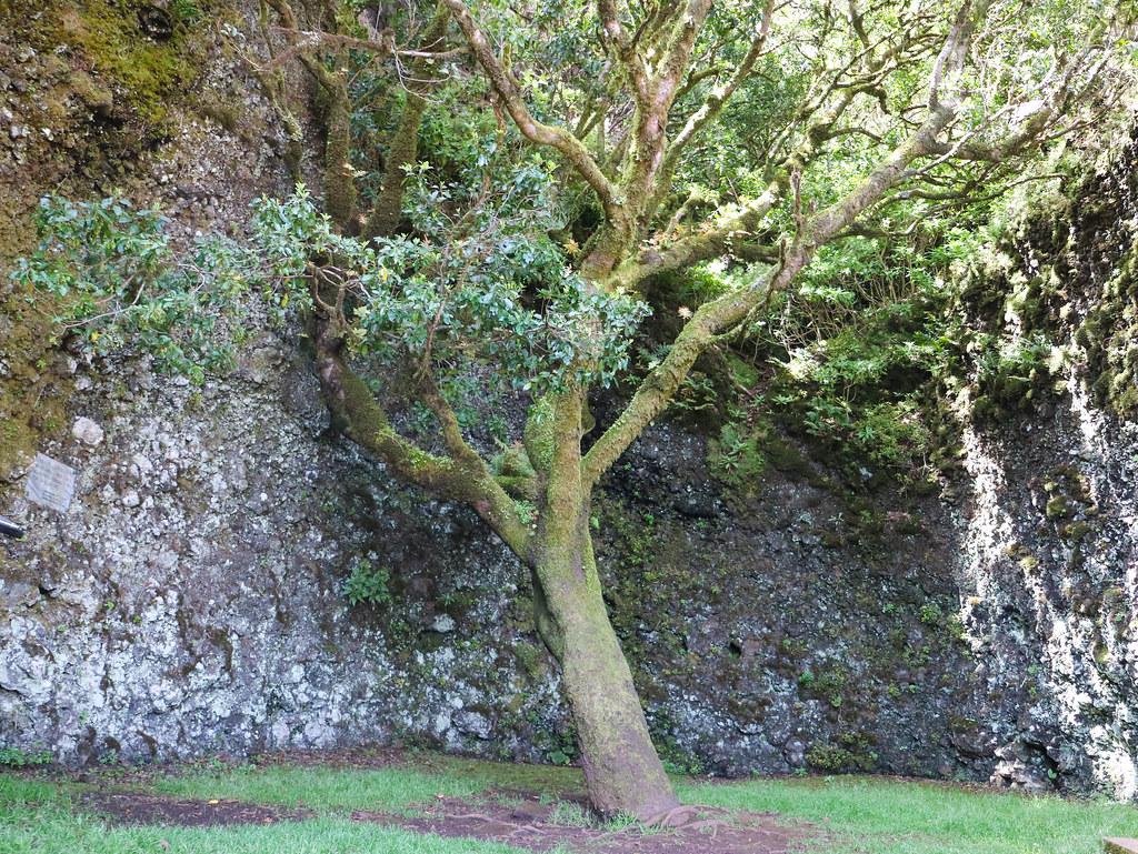 Árbol Garoé en El Hierro
