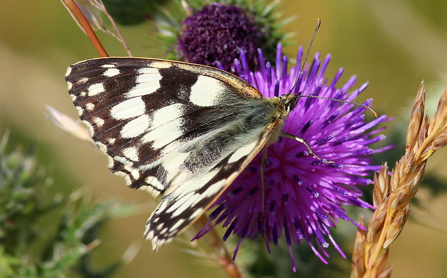 Marbled White, Canon EOS 550D, Canon EF-S 55-250mm f/4-5.6 IS STM