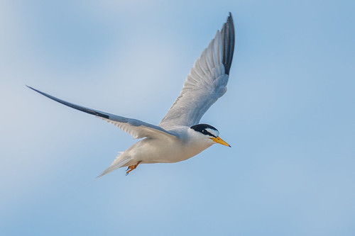 leasttern climateendangered wildlife flight nature belmar belmarbeach sky tern sternulaantillarum bird birdsinflight shore newjersey unitedstates us nikon d800e