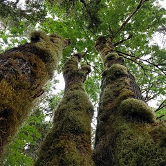 3 sisters #tree #bigleafmaple #moss #forest #PNW #statepark #hiking #treecanopy