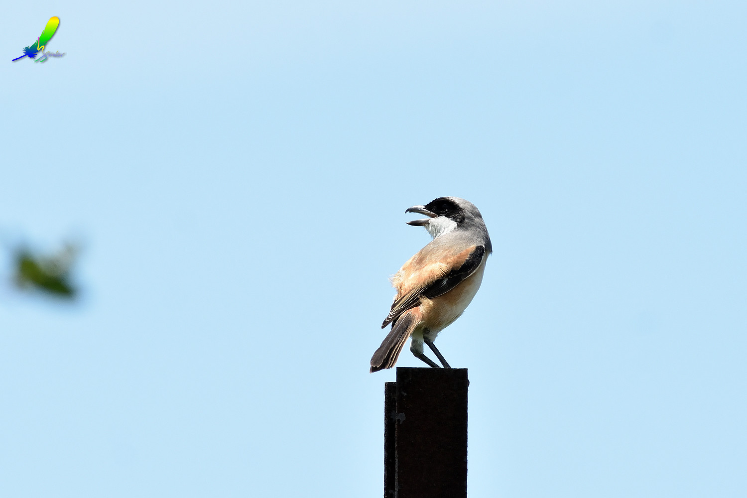 Long-tailed_Shrike_8498