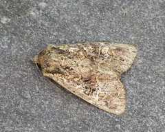 73.159 Small Clouded Brindle - Apamea unanimis