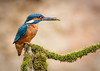 Kingfisher male with minnow