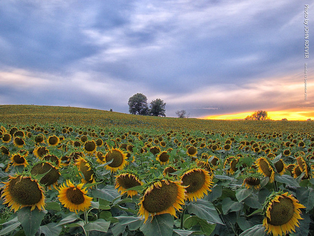 Sunflowers at Grinter Farms, Sony DSC-H50