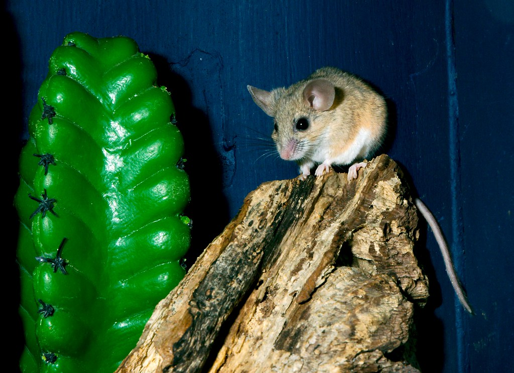 Cactus Mouse_1
