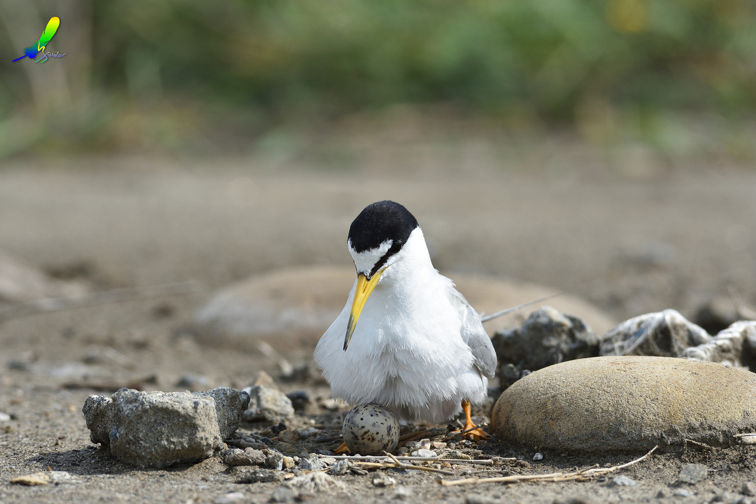 Little_Tern_6761