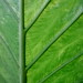 Small photo of Alocasia Leaf