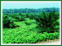 Young palm oil trees of Elaeis guineensis (Oil Palm, African Oil Palm, Kelapa Sawit), 20 June 2010