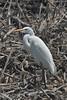 Garza grande (Great egret, Ardea alba) by Javiera C