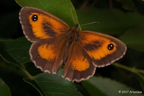 DSC05144 - Orange Zandoogje ( Pyronia tithonus ) -   Gatekeeper or Hedge Brown