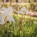 Flower por DanielDuron