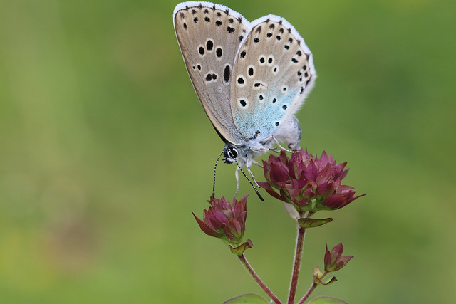 female large blue laying eggs but this time doing a balancing act & the same time lol