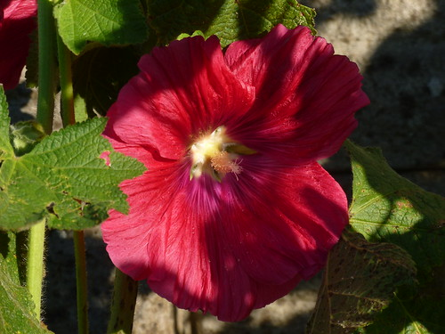 first Hollyhock flower of the year