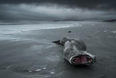 Leopard Seals Last Gasps