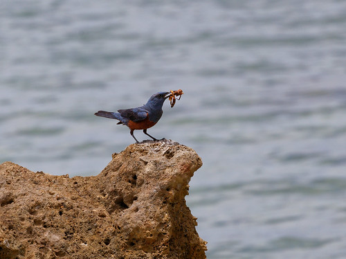 Okinawa - Bird-Bro having a snack