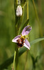 Bee Orchid Ophrys apifera by GrahamC57